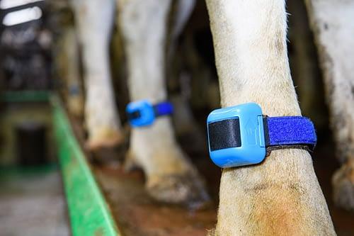 Wearable health sensors will help detect disease in livestock
